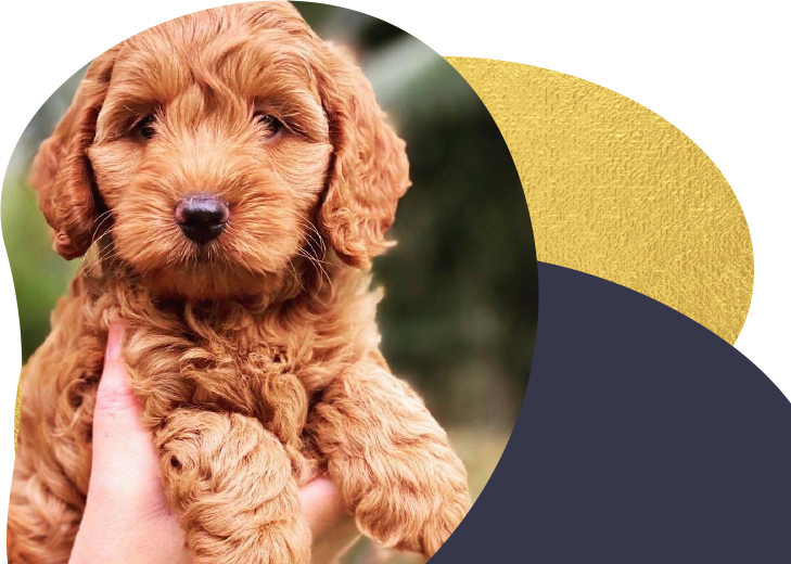 A brown Cavoodle puppy