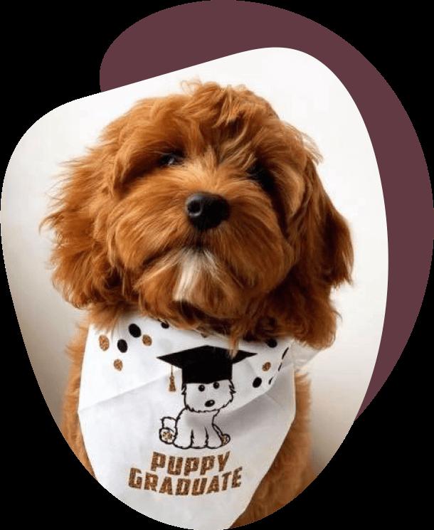 A puppy wearing a 'puppy graduate' bandana around its neck